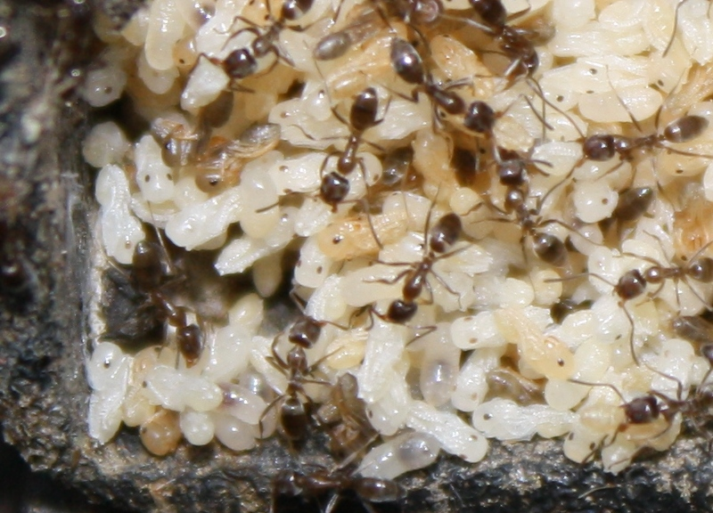 Closeup of ants and eggs in the controller.